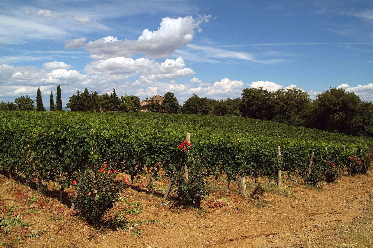 1280px-Brunello_di_Montalcino_vines[1]