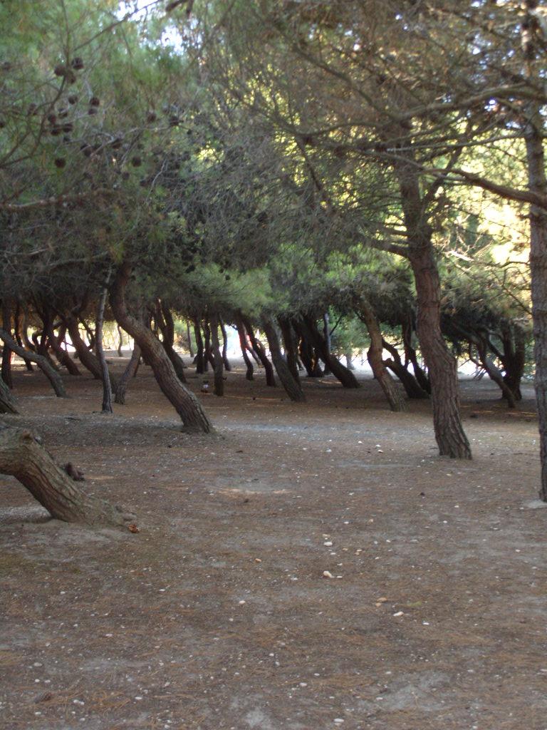 Pinewood_in_Porto_Sant'Elpidio